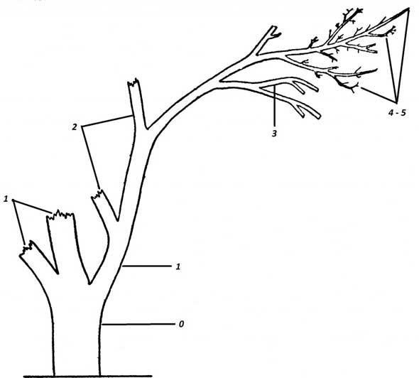 Схема ветвления плодового