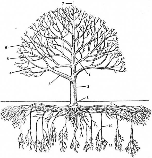 части плодового дерева